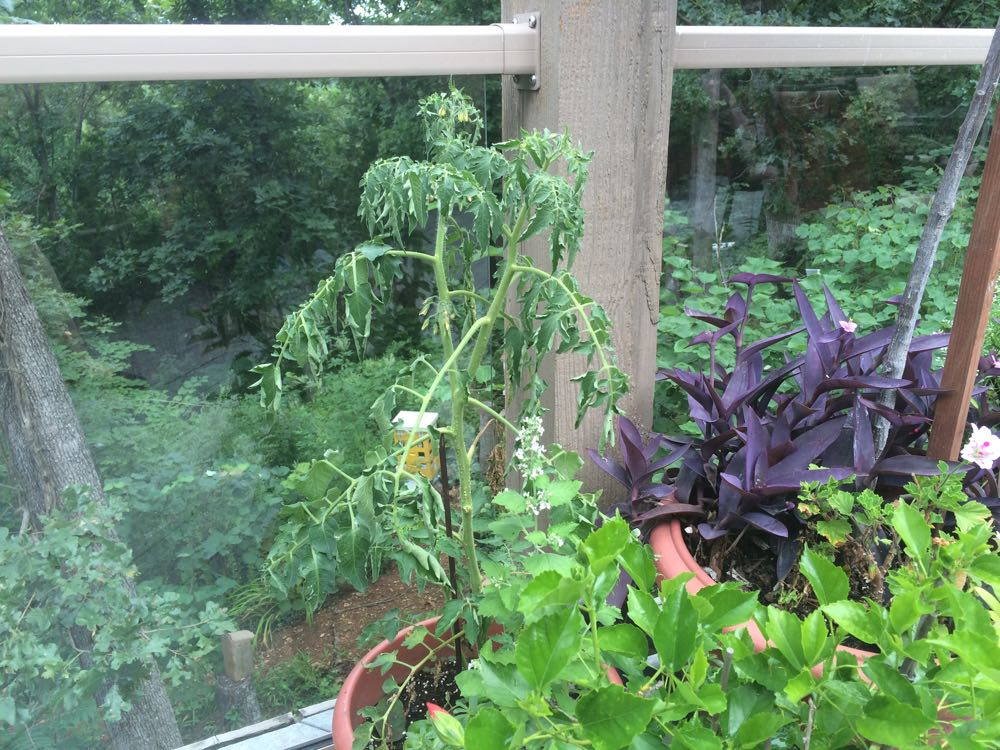 Once I see this tomato wilting, I know I need to check my potted deck plants for water.