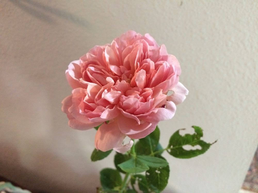 My scented pink rose after Japanese beetles snacked on leaves and the flower bud.