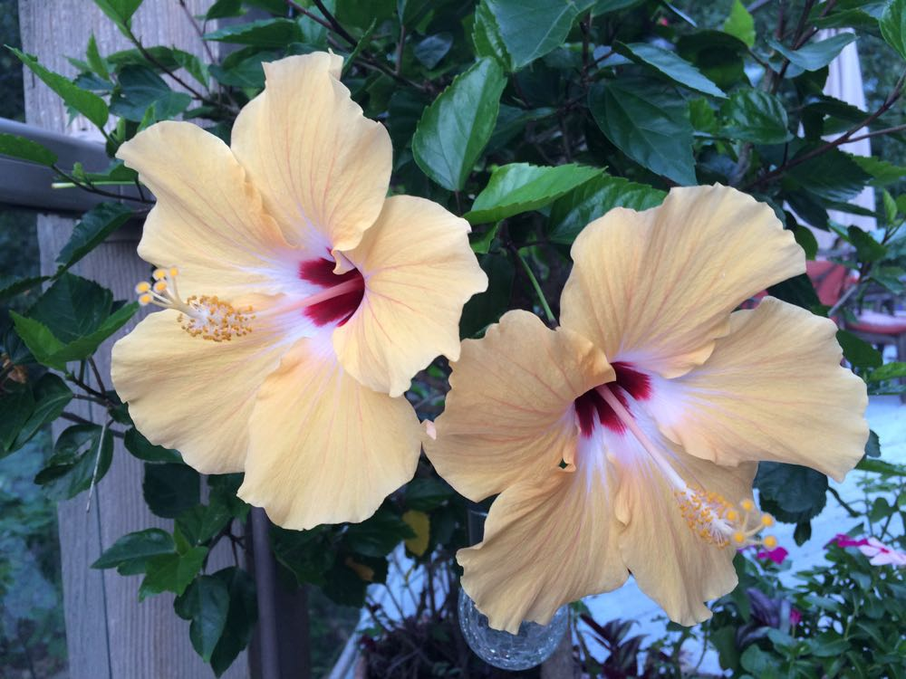 My garden contribution from last year, single yellow blooming tropical hibiscus plants.