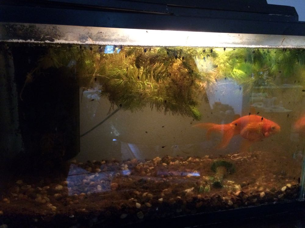 Meet Laverne, my cat Margaret's pet goldfish, now living with several unexpected visitors.