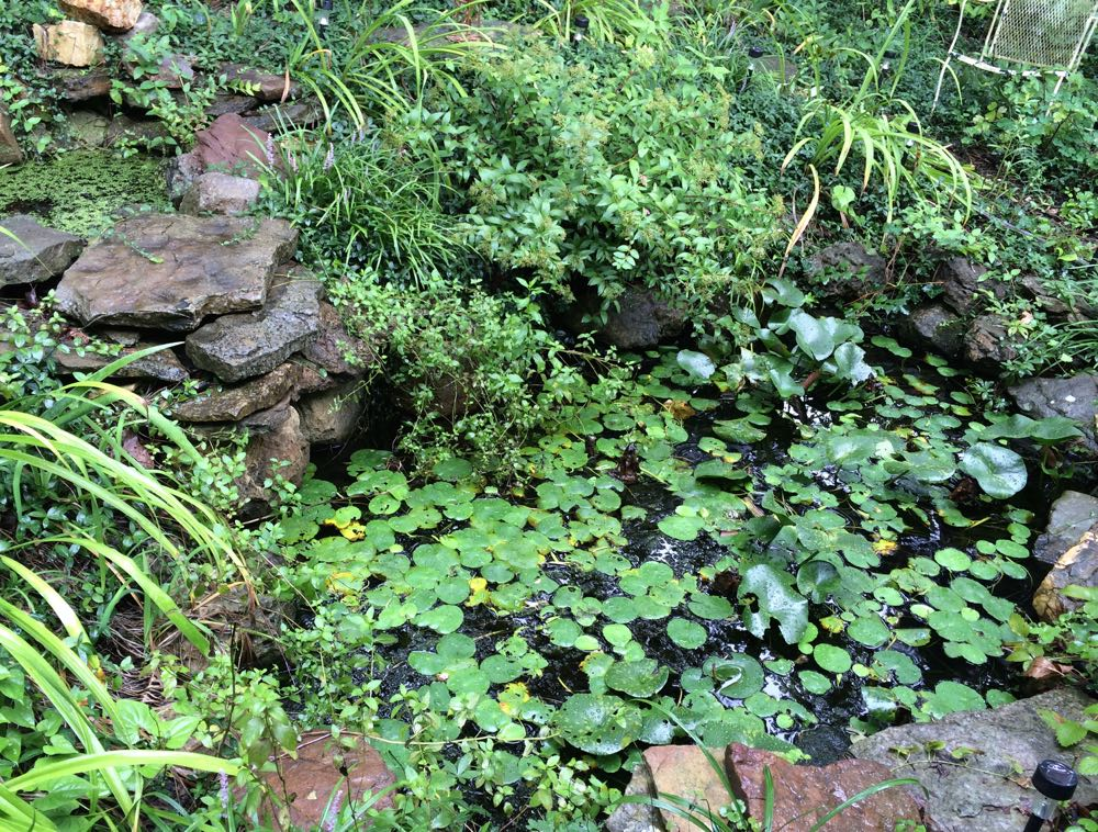 Hornwort grows in my little pond at Bluebird Gardens among the water lilies.