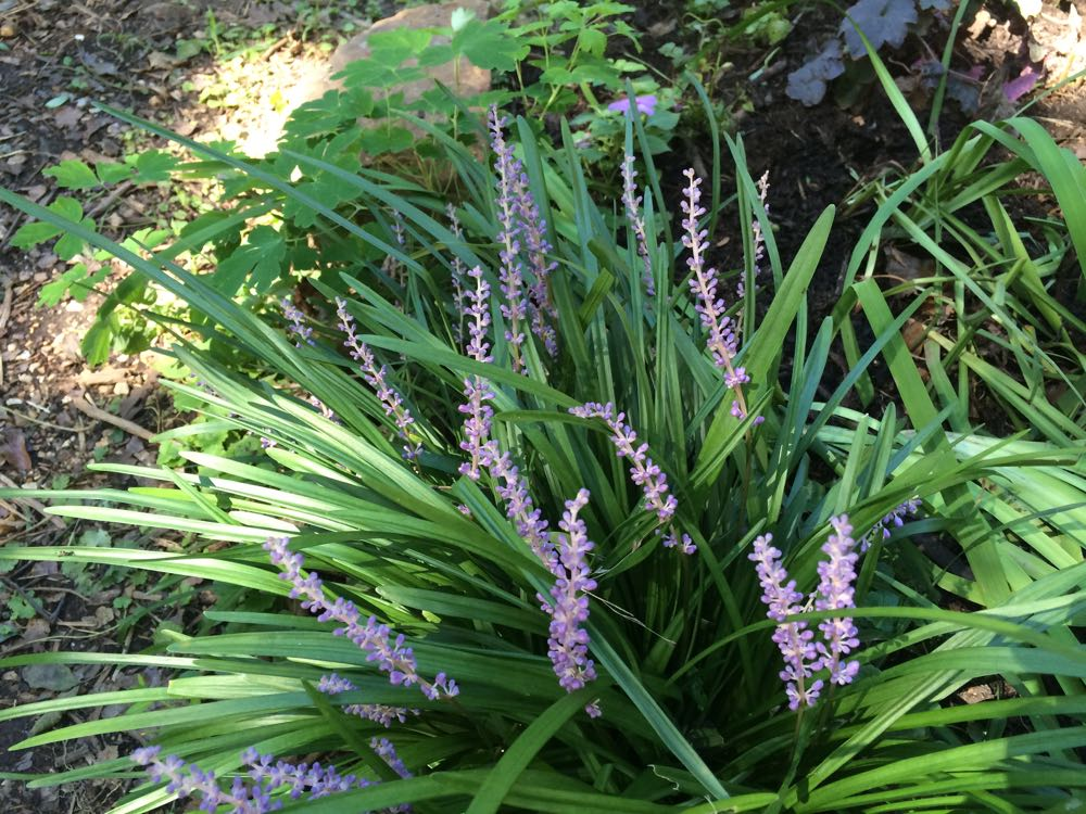 Monkey Grass not only makes a nice border plant but it blooms in August when little is blooming.