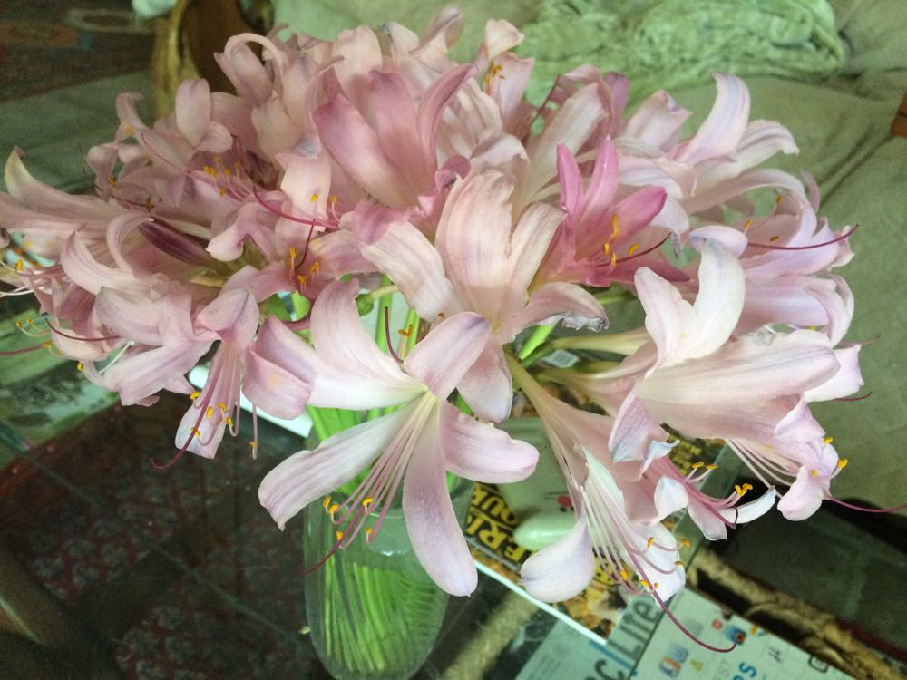 Surprise lilies, also called naked ladies, make lovely cut flowers.