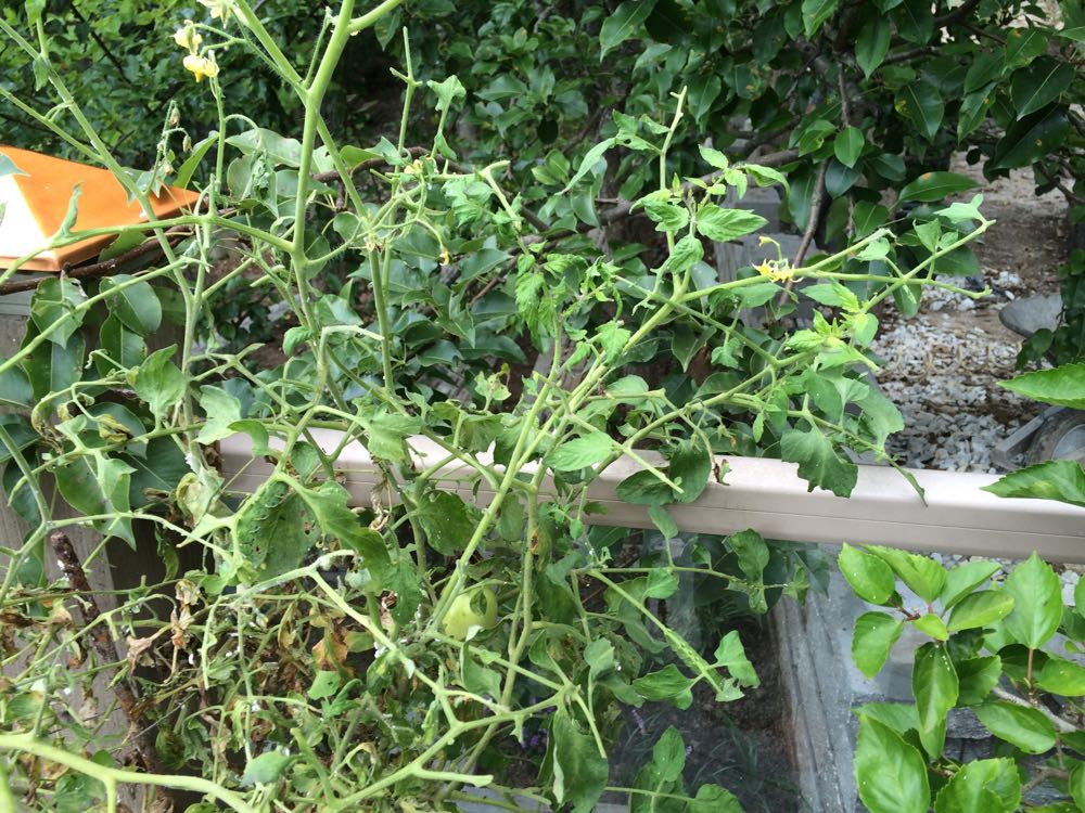 My once robust deck tomato plant all of a sudden looked like it was being eaten.