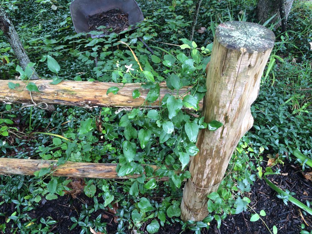 Mystery clematis planted on Bluebird Gardens cedar fence.