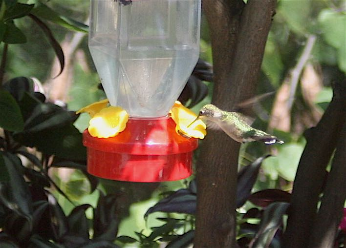Hummingbird at a Bluebird Gardens syrup feeder.
