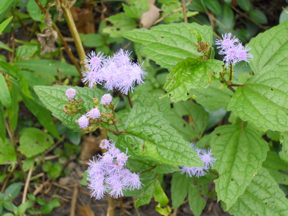 Wild ageratum at Bluebird Gardens, one of the last flowers to bloom before season's end.