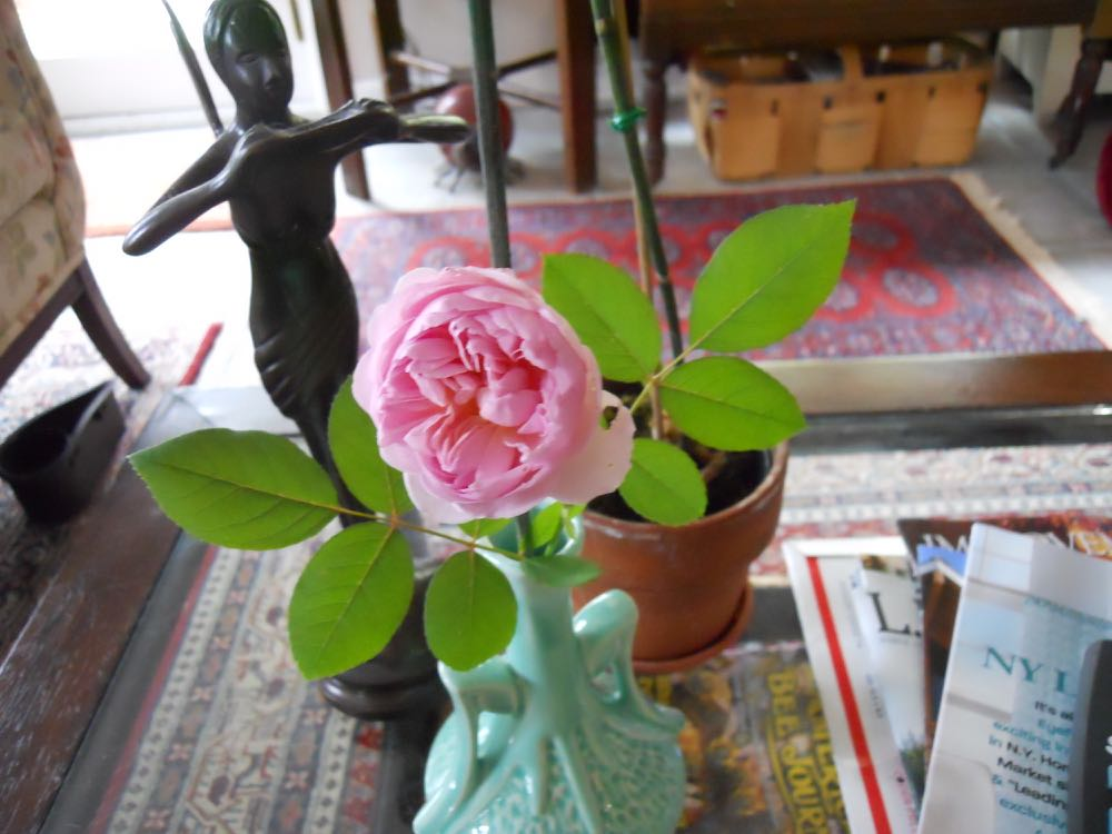 The last scented tea rose for the season from my garden.