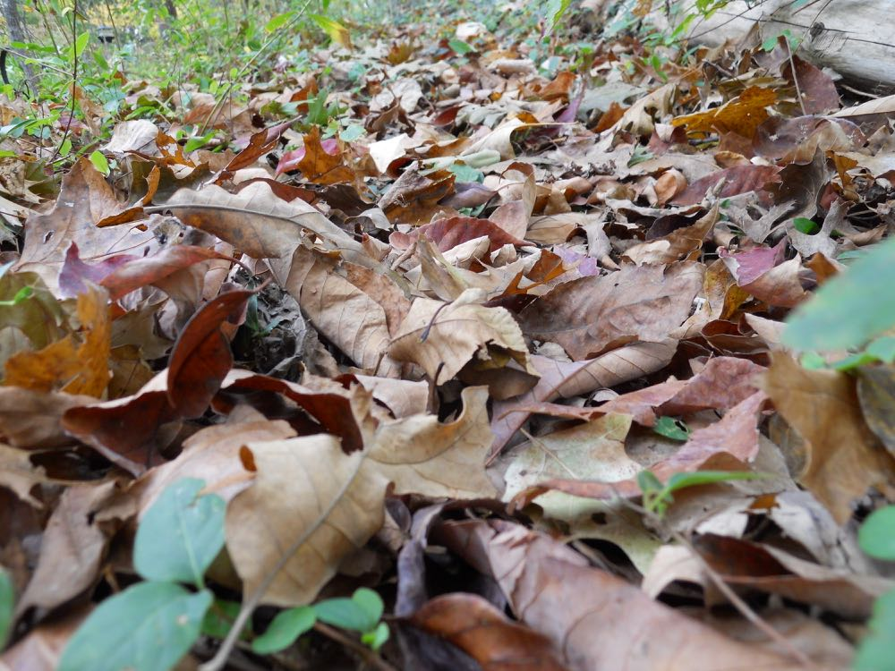 Oak leaves falling and covering a path at Bluebird Gardens.