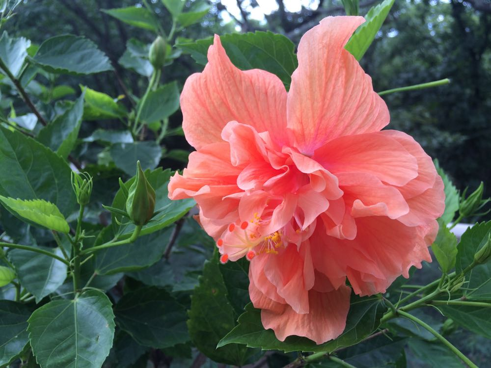Lovely double peach tropical hibiscus blooms late summer on my deck.