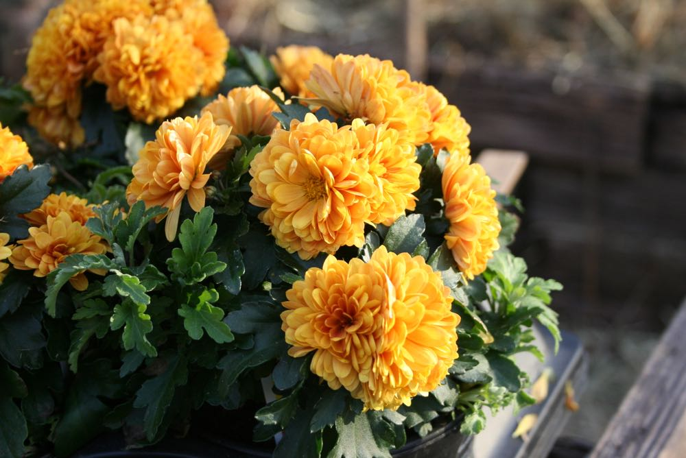 Chrysanthemums, or mums, not only add color to our fall gardens but help with bug control.