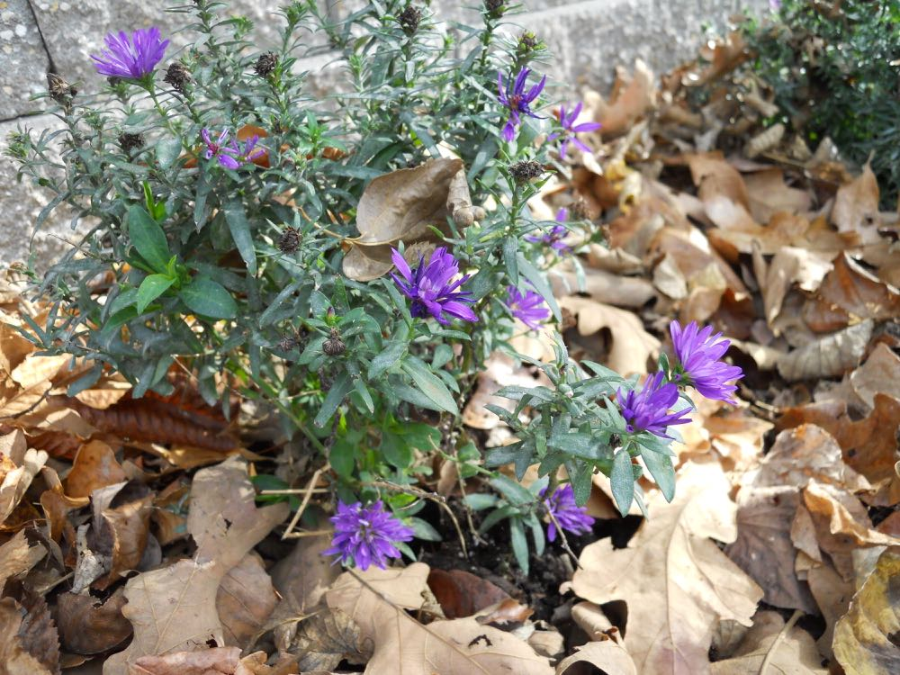 These asters are blooming again about a month after I removed spent blooms.