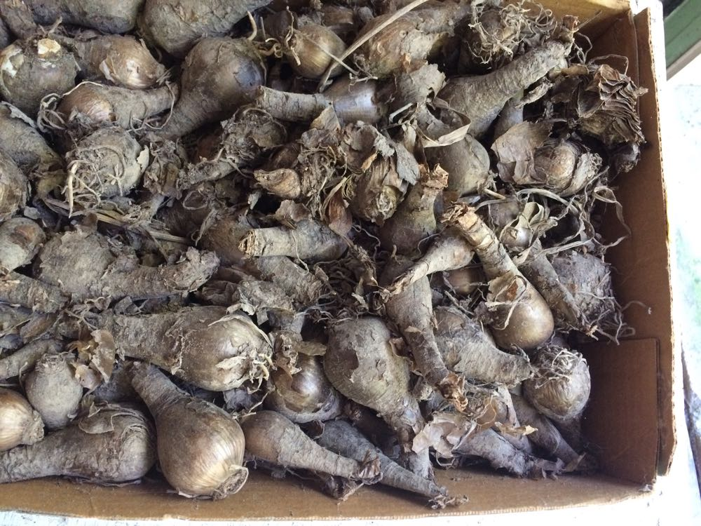 Surprise lily bulbs ready for fall planting.