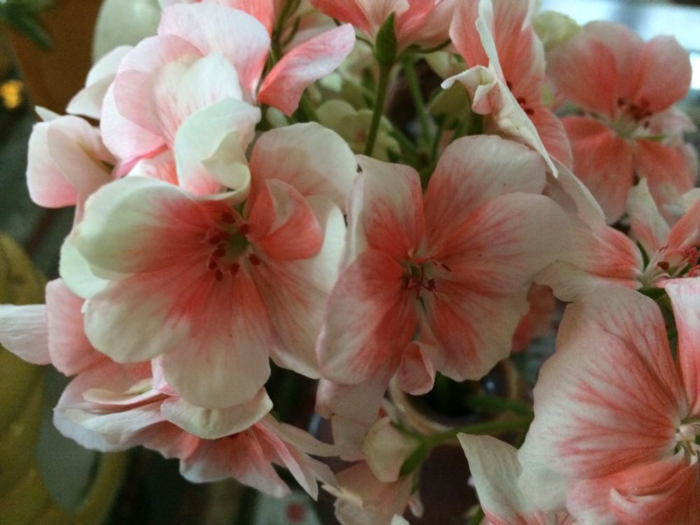 These pink and white geraniums were the last blooming flowers from my deck plants.