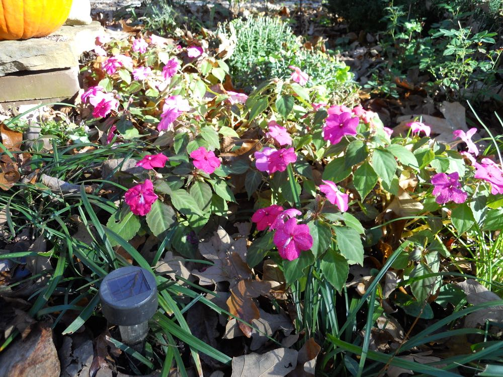 Pink impatiens added color to the flower bed at the entrance to my driveway.