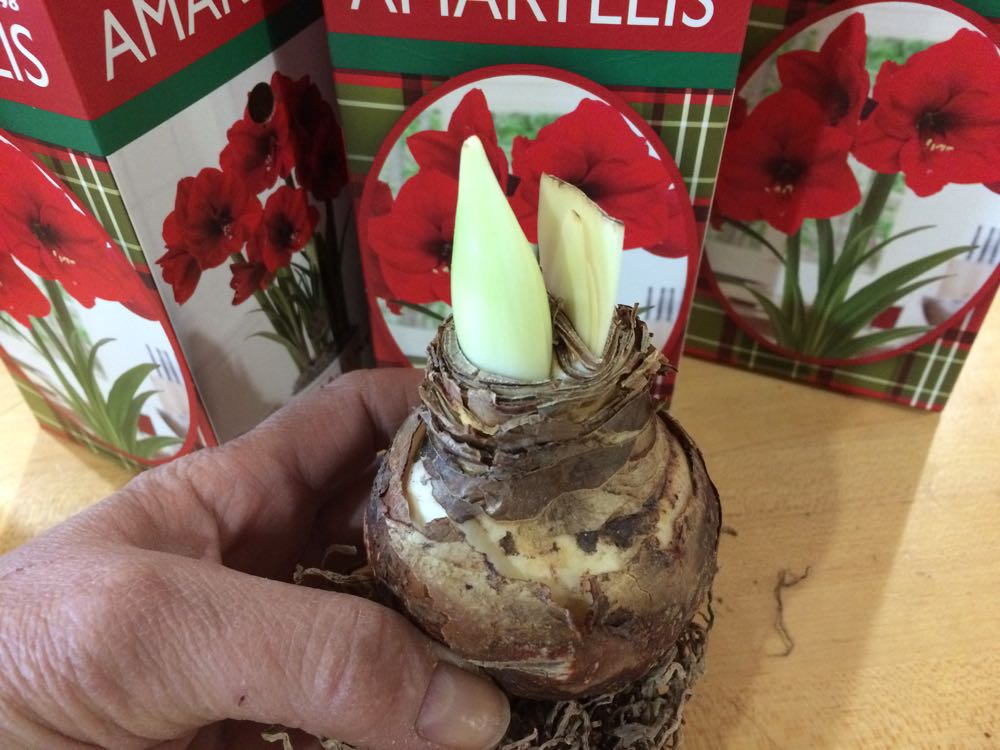 Amaryllis bud is on the left, emerging green leaves are on the right.