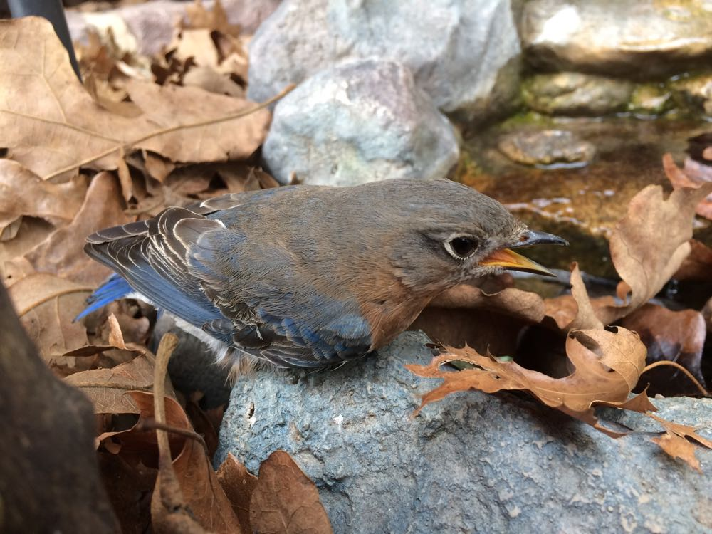 I placed the Eastern Bluebird I found lying on the road near my front porch waterfall.