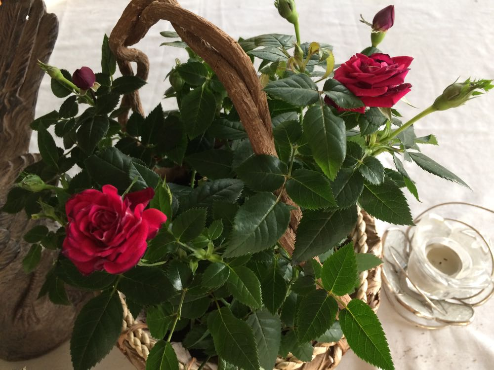 After a little compost tea, the roses are my dining room table center decoration.