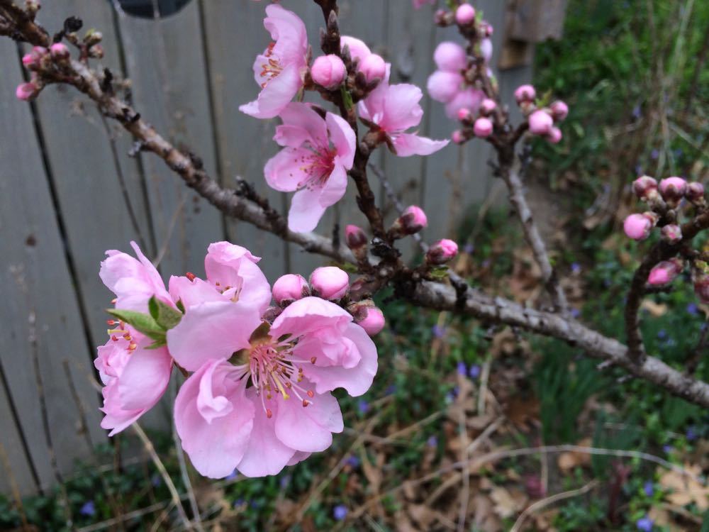 I love the rich pink color of the compact apricot trees against the rich green of the vinca.