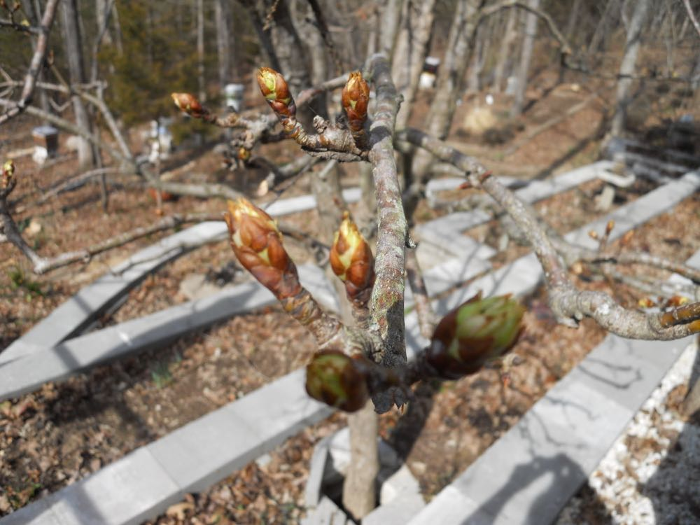 My compact pear tree off my deck is getting ready to bud almost a month earlier than in past years. Watching when trees bud is part of what scientists and citizens in the phenology network to do track nature's seasonal trends. This year, they confirm spring is 3 weeks ahead of schedule in our part of the country.