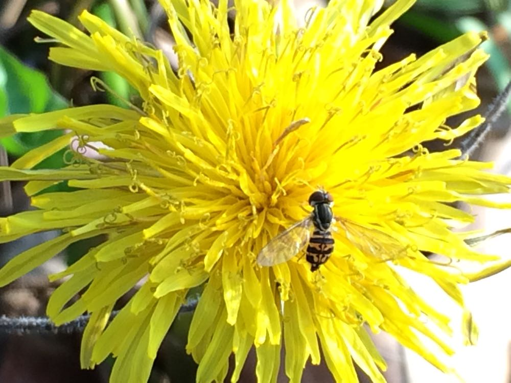 A flower fly, also called hover fly,  on a dandelion at Bluebird Gardens.
