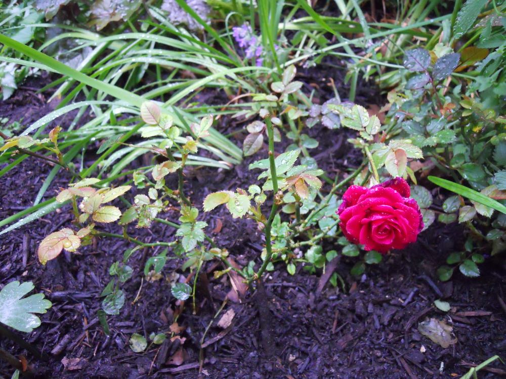 Miniature roses are shrub roses that are easy to grow and continuously bloom most of the season.