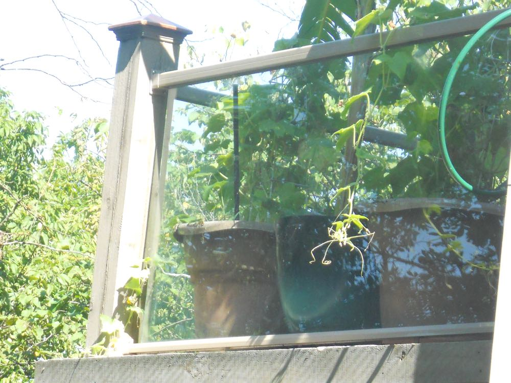 Both cucumber plants are outgrowing their pots and need more support.