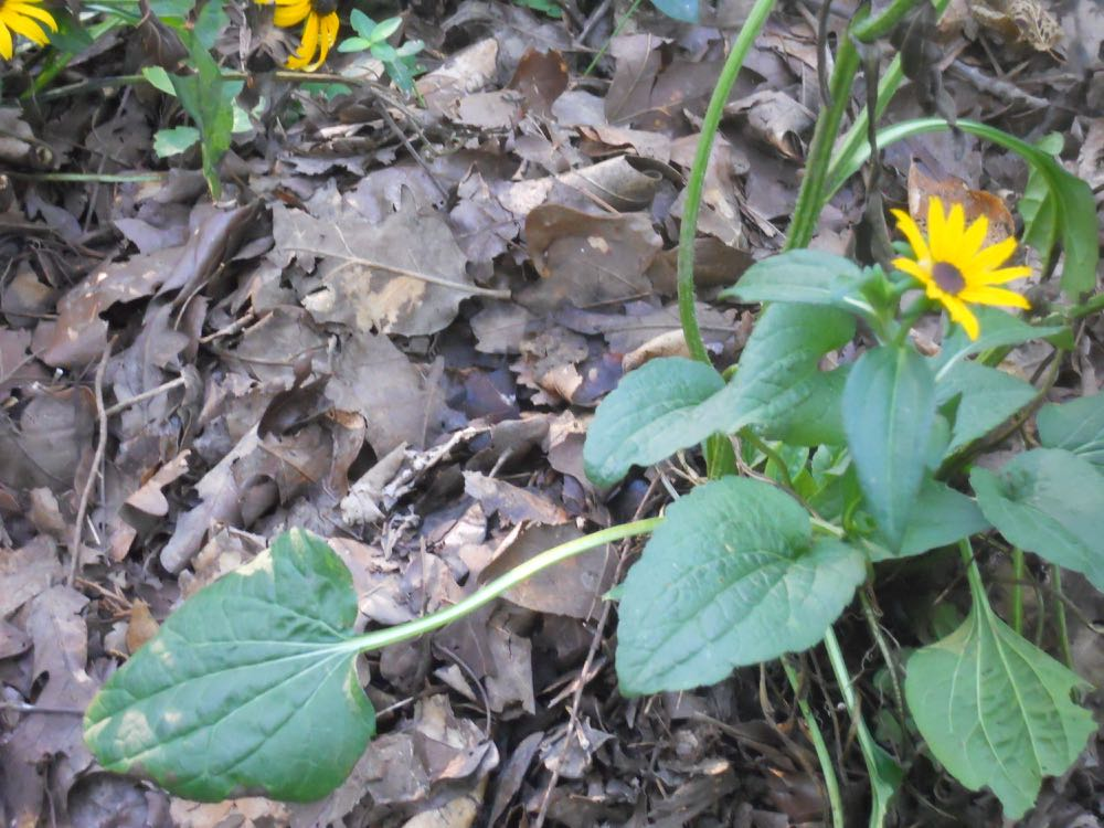 These Black-eyed Susans have settled in well with the help of wet leaves under mulch.