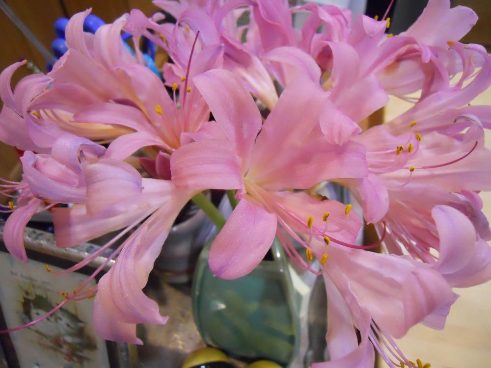 Cut surprise lilies in a vase at Bluebird Gardens.