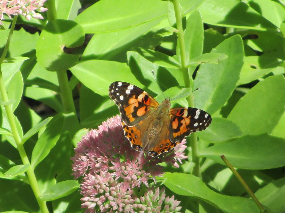 GC Painted Ladies Migration 2.jpg
