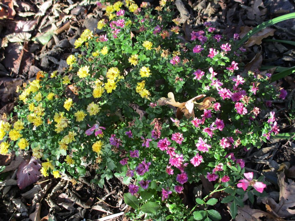 Another mum combination turned out to be yellow and pink mums growing together.