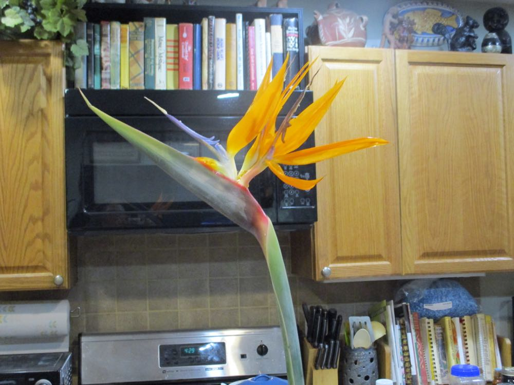 This is a Bird of Paradise flower from a gardening friend who auctioned the plant off.