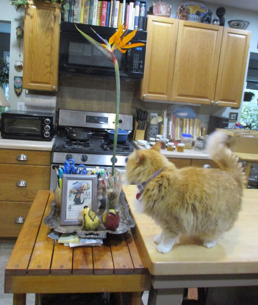 Shirley Honey where she should not be, on the kitchen island getting a closer look at the flower.