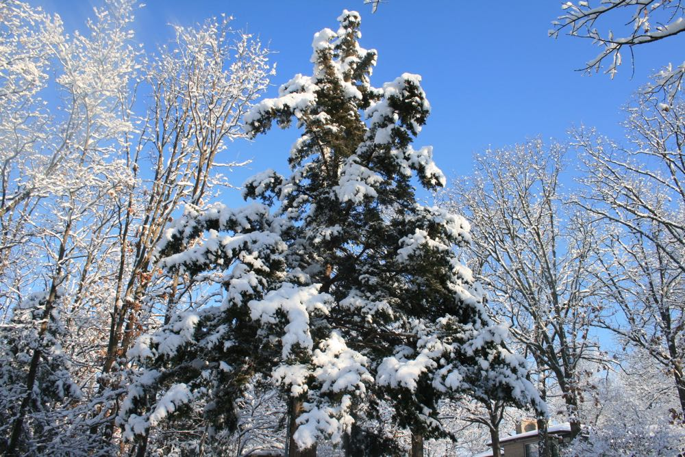 My favorite kind of Christmas tree, outside, living and covered in a blanket of snow!
