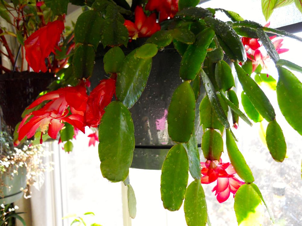 One of my Christmas cactus currently in bloom, see the smooth edges of the leaves?