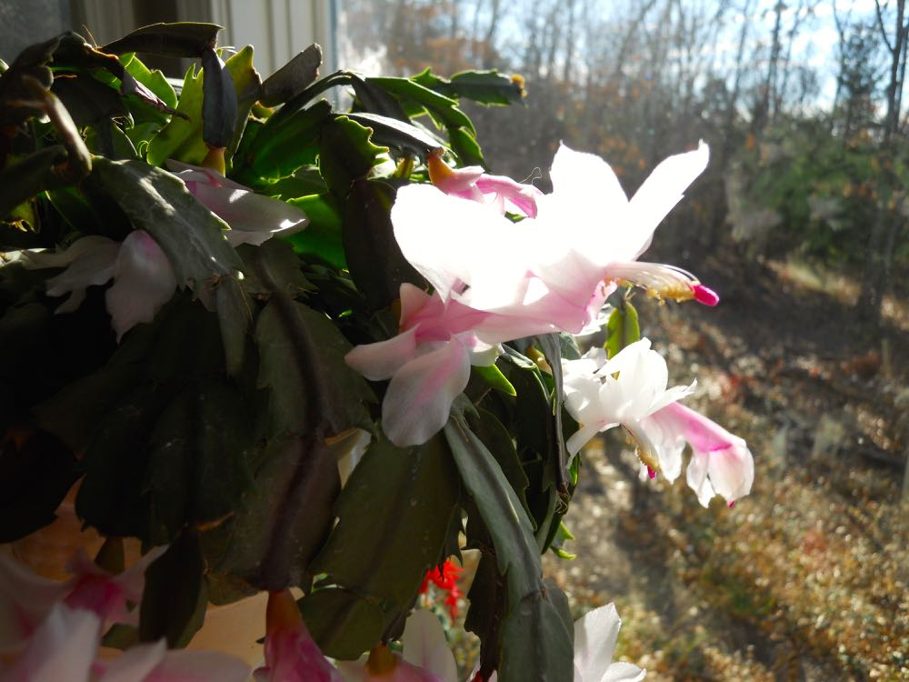 This is a Thanksgiving cactus, note the spikes on the green leaves.