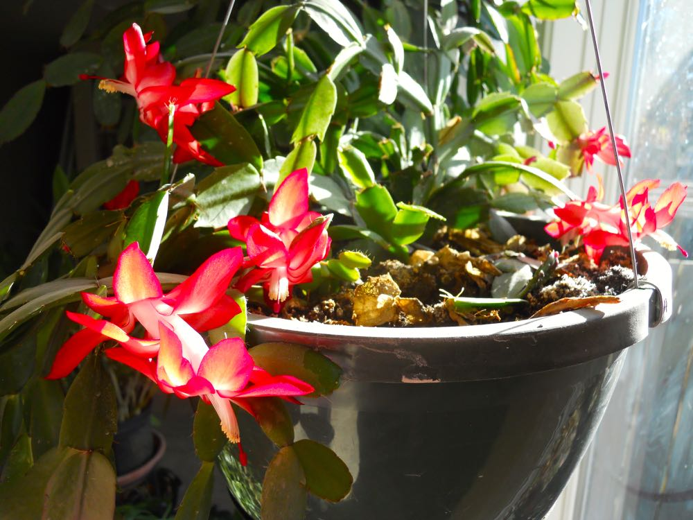 Another Thanksgiving cactus in bloom, this one looks red and white in bright light.