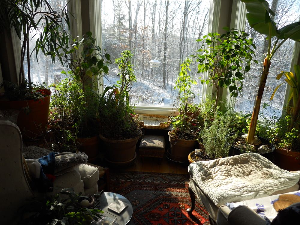 Miriam the tomato plant spends her days in this window with southeastern exposure. (Photo by Charlotte Ekker Wiggins)