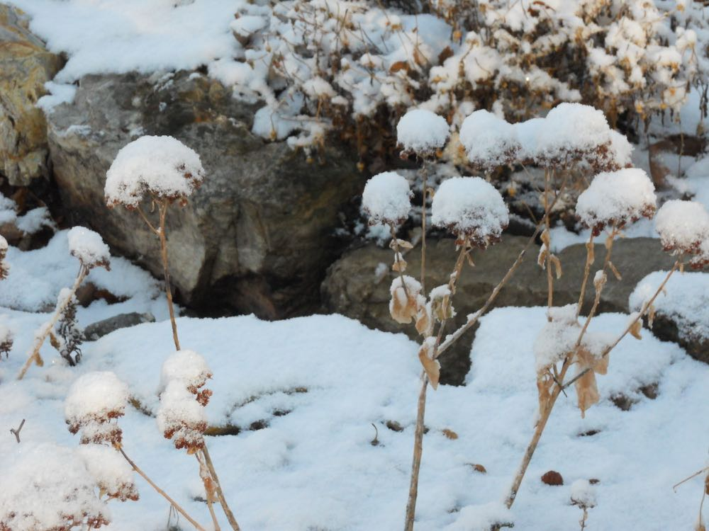"""Autumn Sedum """"Joy"""" covered in snow was the inspiration for my calling them snowflowers."""