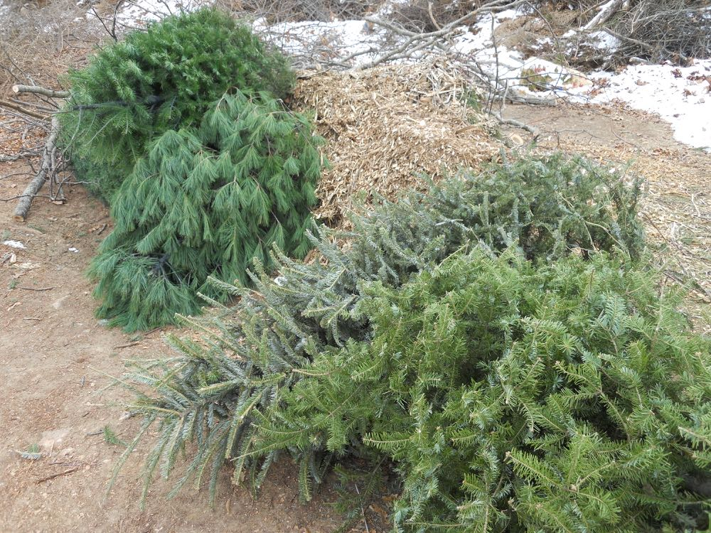 Some of the cut Christmas trees left at Rolla Recycling Center to become mulch.