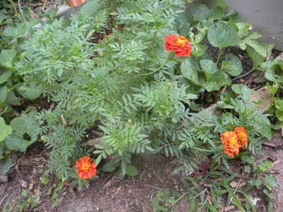 Marigolds growing in my old vegetable garden.