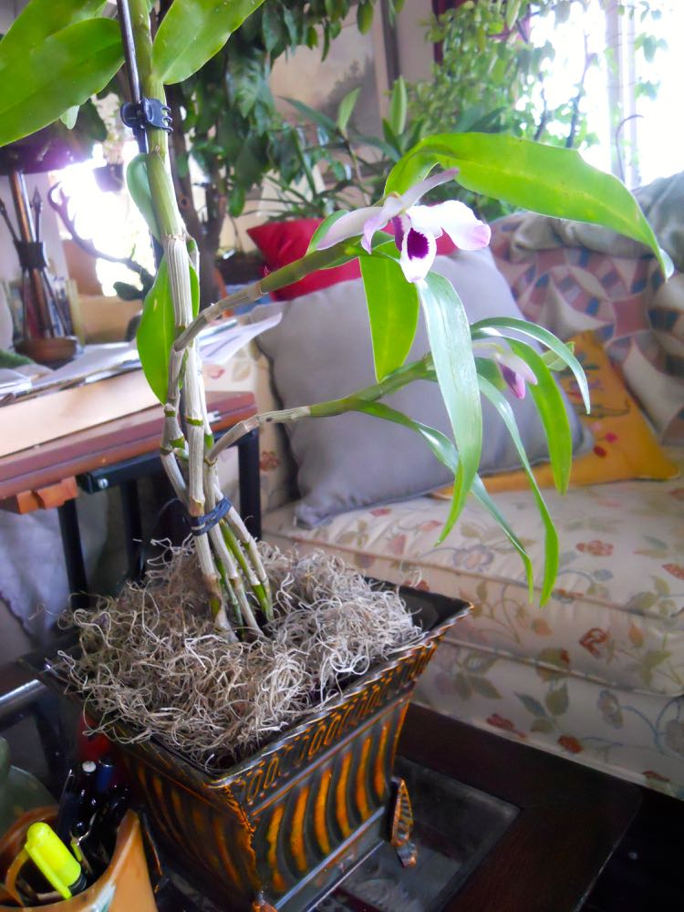Harriet's Orchid has two flowers, one in bloom and one in bud. I celebrated by buying a container.