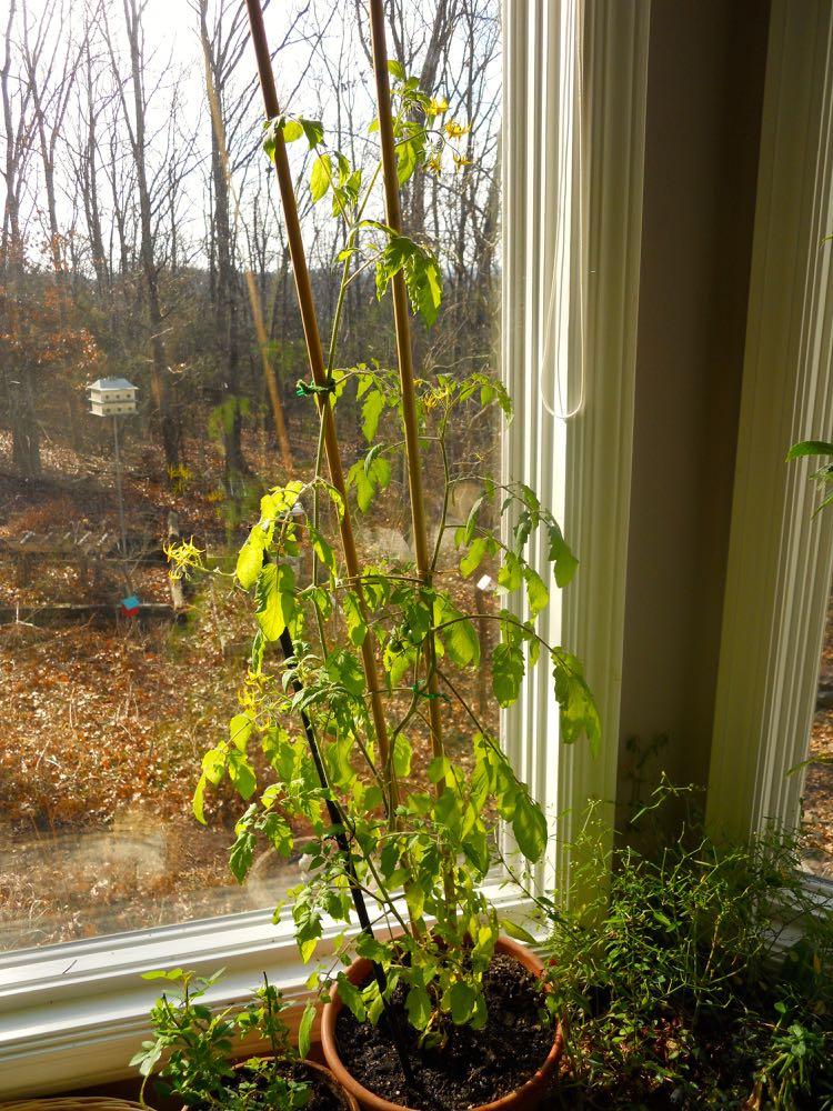 Miriam Tomato spends her winter days keeping Razel Rose company in one of my bay windows.