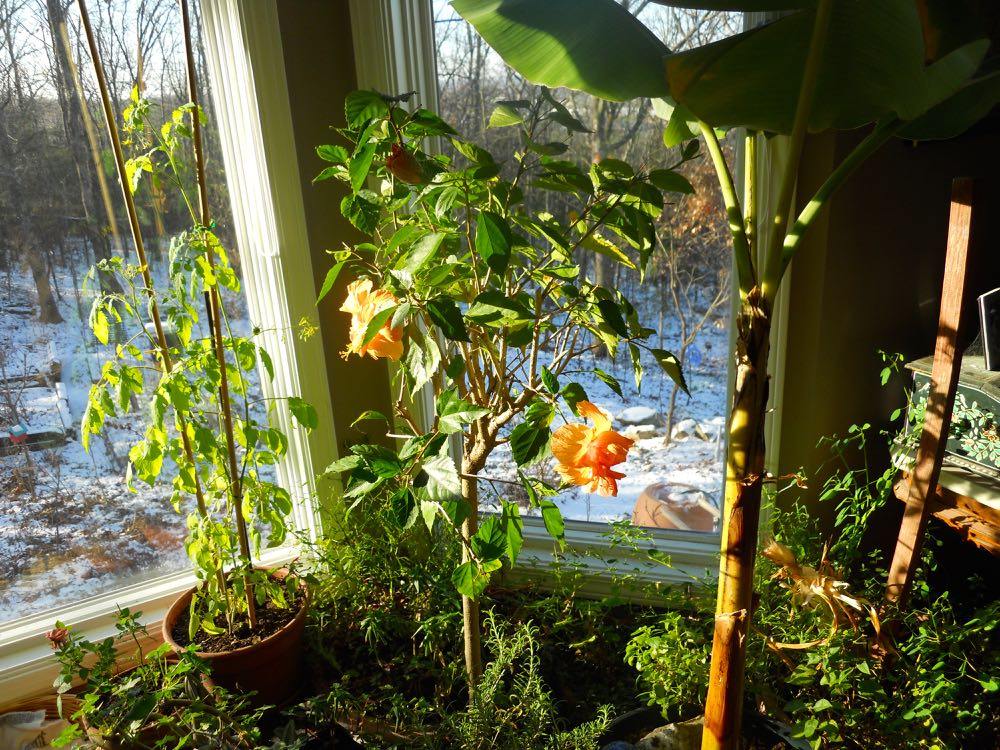 Tropical hibiscus winter over inside well as long as they get sunlight.