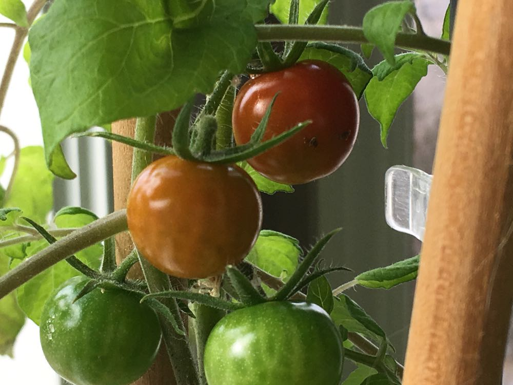 My inside tomato plant is not only growing fruit but the fruit is ripening enough to pick.