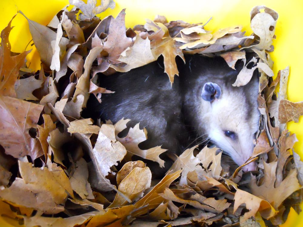 Opossums are good garden visitors, they keep ticks and snake populations in check.