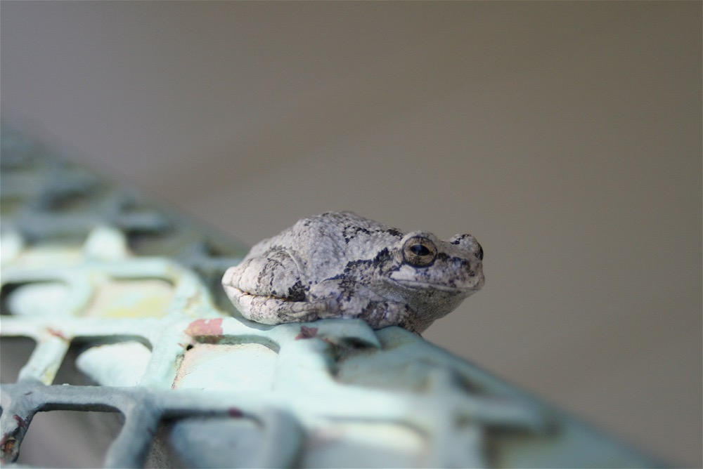 A Missouri spring peeper frog resting on my back ladder between making joyful noises.