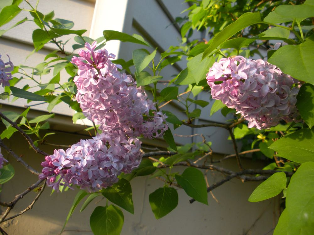 Prune lilacs immediately after blooming or you may be cutting off next year's flowers.