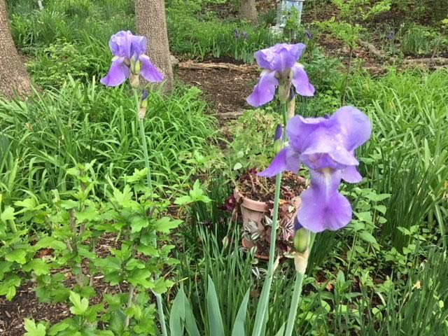 Several friends have posted that this color iris was also their Mom's favorite. (Photo by Charlotte Ekker Wiggins)