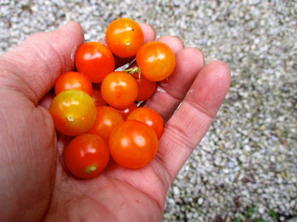 These cherry tomatoes grew over winter inside my house, the last of my winter crop. (Photo by Charlotte Ekker Wiggins)